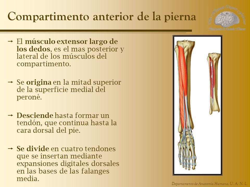 Departamento de Anatomía Humana, U. A. N. L. Compartimento anterior de la pierna El músculo extensor largo de los dedos, es el mas posterior y lateral