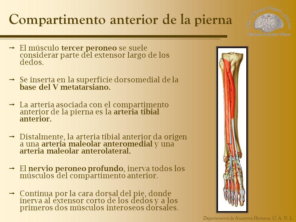Departamento de Anatomía Humana, U. A. N. L. Compartimento anterior de la pierna El músculo tercer peroneo se suele considerar parte del extensor larg