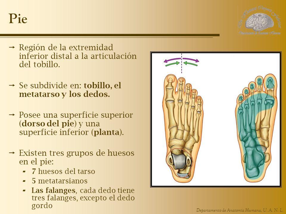 Departamento de Anatomía Humana, U. A. N. L. Pie Región de la extremidad inferior distal a la articulación del tobillo. Se subdivide en: tobillo, el m