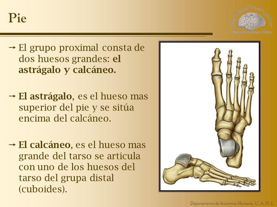 Departamento de Anatomía Humana, U. A. N. L. Pie El grupo proximal consta de dos huesos grandes: el astrágalo y calcáneo. El astrágalo, es el hueso ma