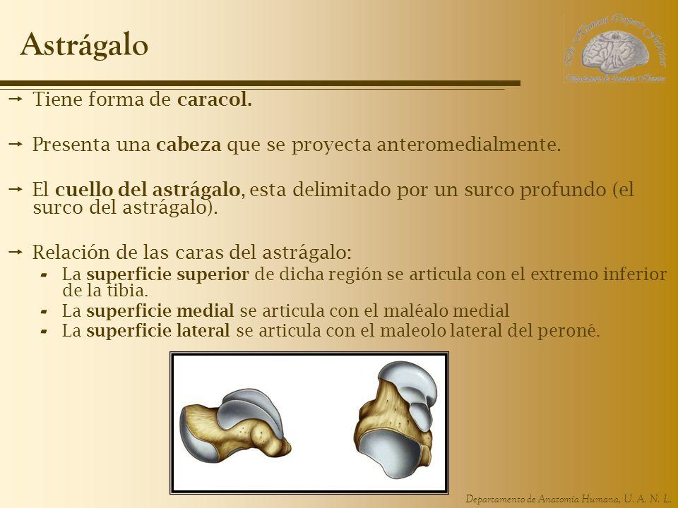 Departamento de Anatomía Humana, U. A. N. L. Astrágalo Tiene forma de caracol. Presenta una cabeza que se proyecta anteromedialmente. El cuello del as