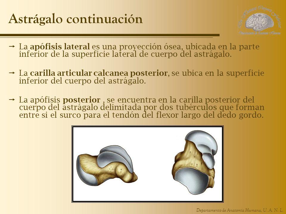 Departamento de Anatomía Humana, U. A. N. L. Astrágalo continuación La apófisis lateral es una proyección ósea, ubicada en la parte inferior de la sup