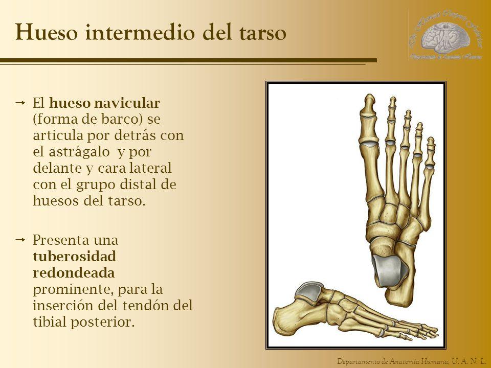 Departamento de Anatomía Humana, U. A. N. L. Hueso intermedio del tarso El hueso navicular (forma de barco) se articula por detrás con el astrágalo y