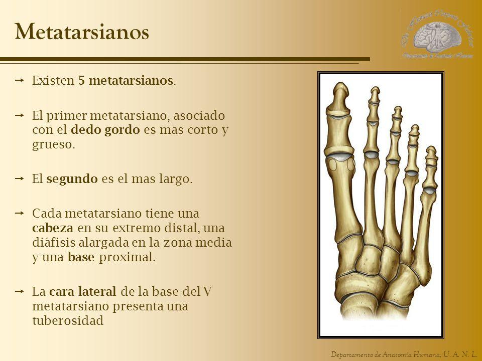 Departamento de Anatomía Humana, U. A. N. L. Metatarsianos Existen 5 metatarsianos. El primer metatarsiano, asociado con el dedo gordo es mas corto y