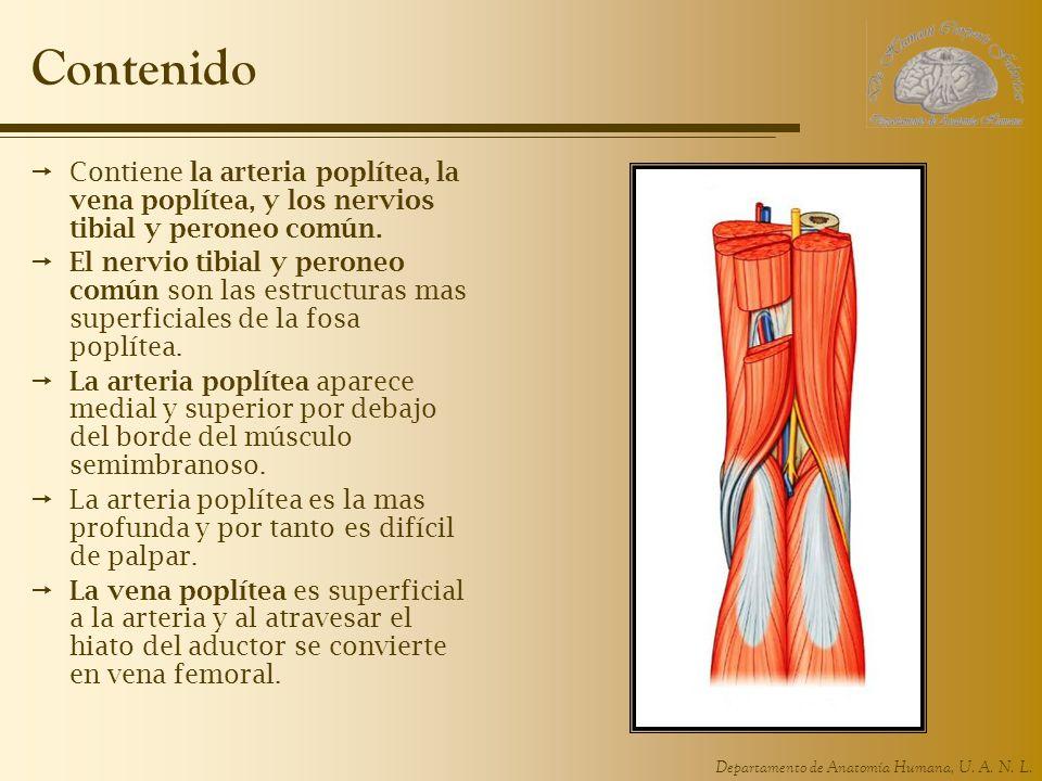 Departamento de Anatomía Humana, U. A. N. L. Contenido Contiene la arteria poplítea, la vena poplítea, y los nervios tibial y peroneo común. El nervio