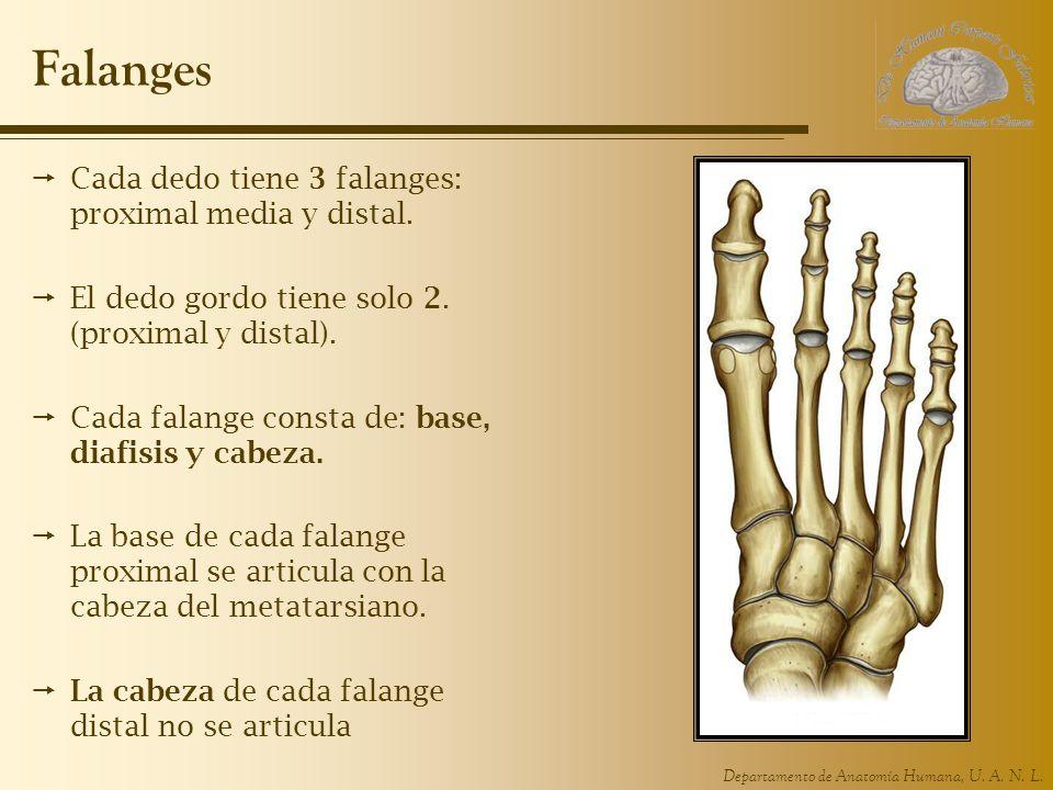 Departamento de Anatomía Humana, U. A. N. L. Falanges Cada dedo tiene 3 falanges: proximal media y distal. El dedo gordo tiene solo 2. (proximal y dis