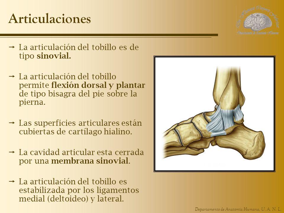 Departamento de Anatomía Humana, U. A. N. L. Articulaciones La articulación del tobillo es de tipo sinovial. La articulación del tobillo permite flexi