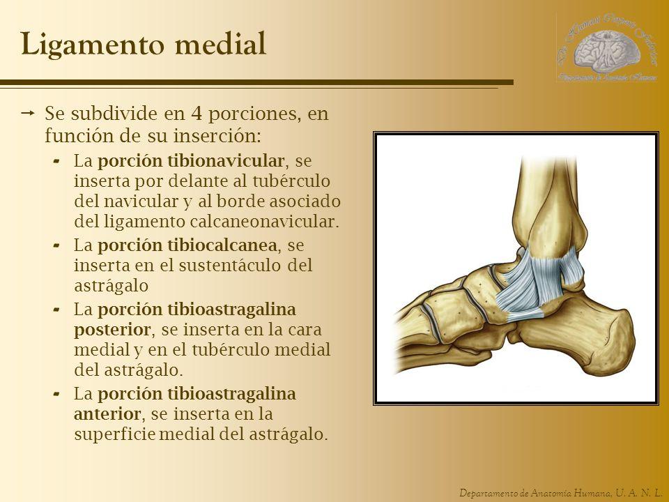 Departamento de Anatomía Humana, U. A. N. L. Ligamento medial Se subdivide en 4 porciones, en función de su inserción: - La porción tibionavicular, se