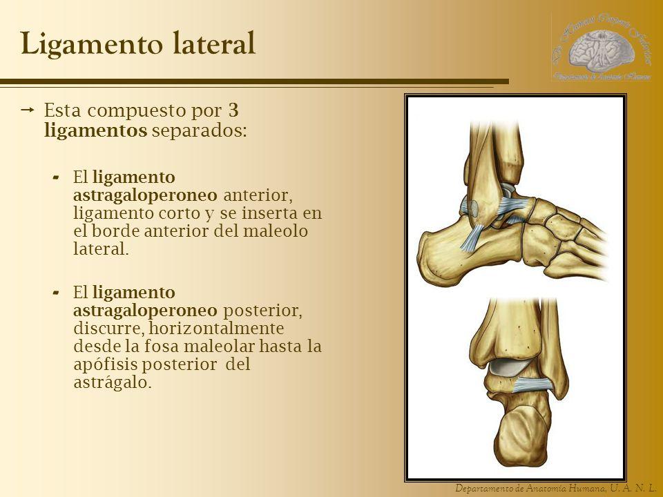 Departamento de Anatomía Humana, U. A. N. L. Ligamento lateral Esta compuesto por 3 ligamentos separados: - El ligamento astragaloperoneo anterior, li