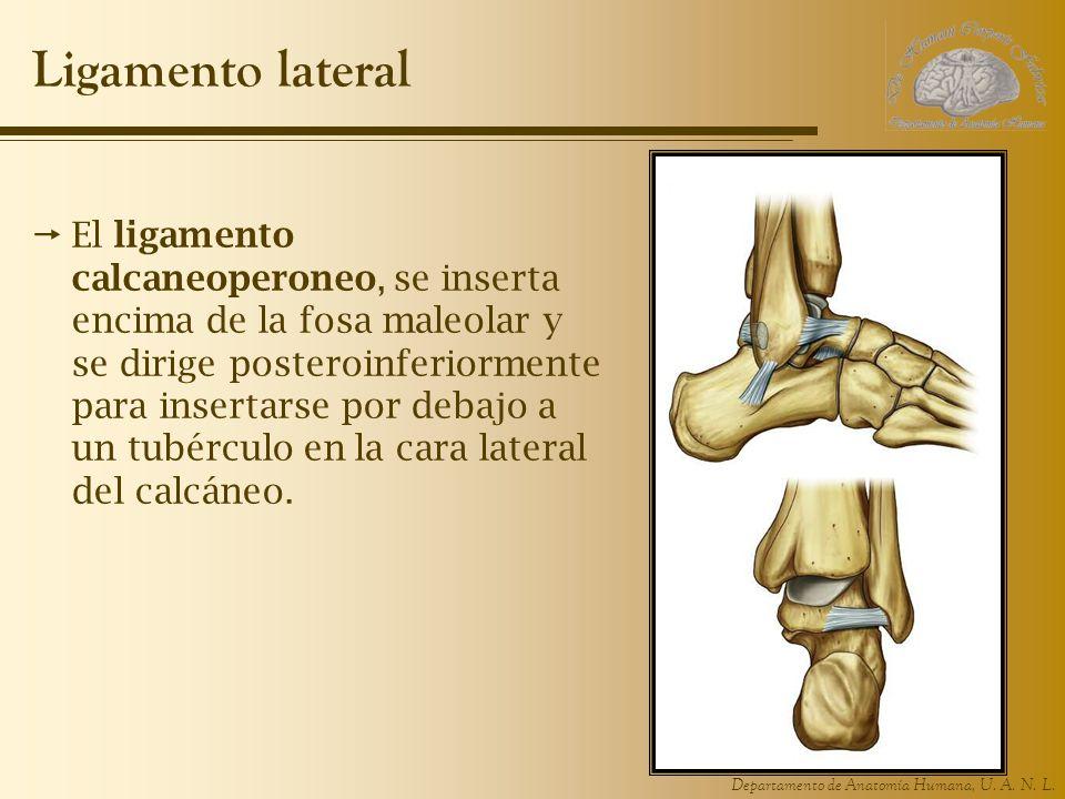 Departamento de Anatomía Humana, U. A. N. L. Ligamento lateral El ligamento calcaneoperoneo, se inserta encima de la fosa maleolar y se dirige postero