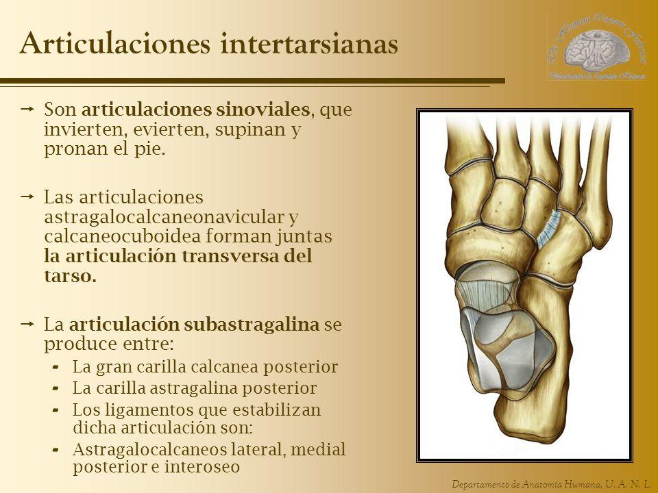 Departamento de Anatomía Humana, U. A. N. L. Articulaciones intertarsianas Son articulaciones sinoviales, que invierten, evierten, supinan y pronan el