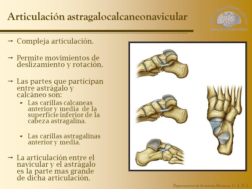 Departamento de Anatomía Humana, U. A. N. L. Articulación astragalocalcaneonavicular Compleja articulación. Permite movimientos de deslizamiento y rot