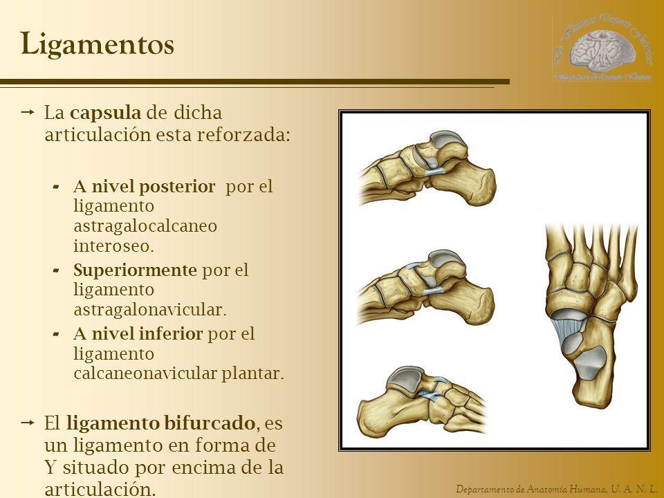 Departamento de Anatomía Humana, U. A. N. L. Ligamentos La capsula de dicha articulación esta reforzada: - A nivel posterior por el ligamento astragal