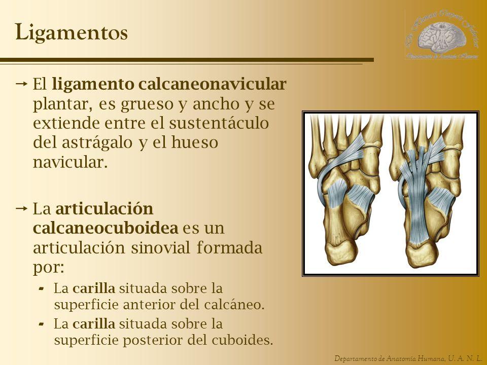 Departamento de Anatomía Humana, U. A. N. L. Ligamentos El ligamento calcaneonavicular plantar, es grueso y ancho y se extiende entre el sustentáculo