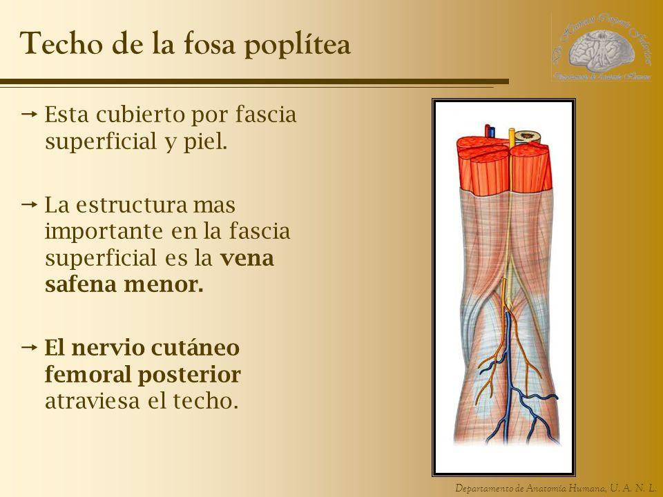 Departamento de Anatomía Humana, U. A. N. L. Techo de la fosa poplítea Esta cubierto por fascia superficial y piel. La estructura mas importante en la