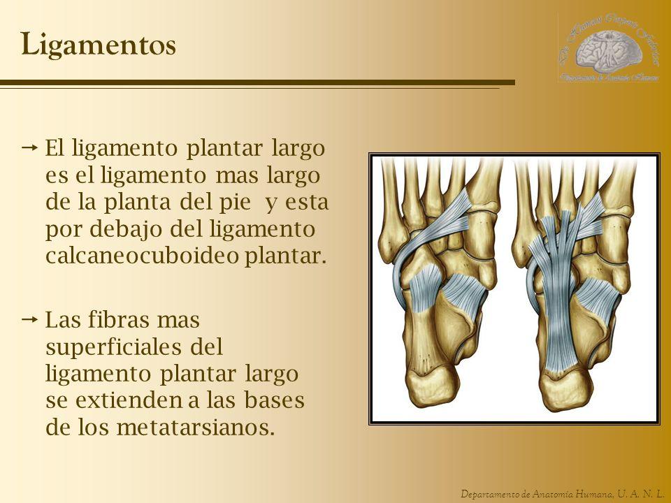 Departamento de Anatomía Humana, U. A. N. L. Ligamentos El ligamento plantar largo es el ligamento mas largo de la planta del pie y esta por debajo de