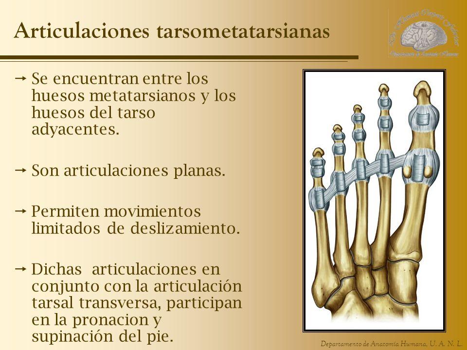 Departamento de Anatomía Humana, U. A. N. L. Articulaciones tarsometatarsianas Se encuentran entre los huesos metatarsianos y los huesos del tarso ady