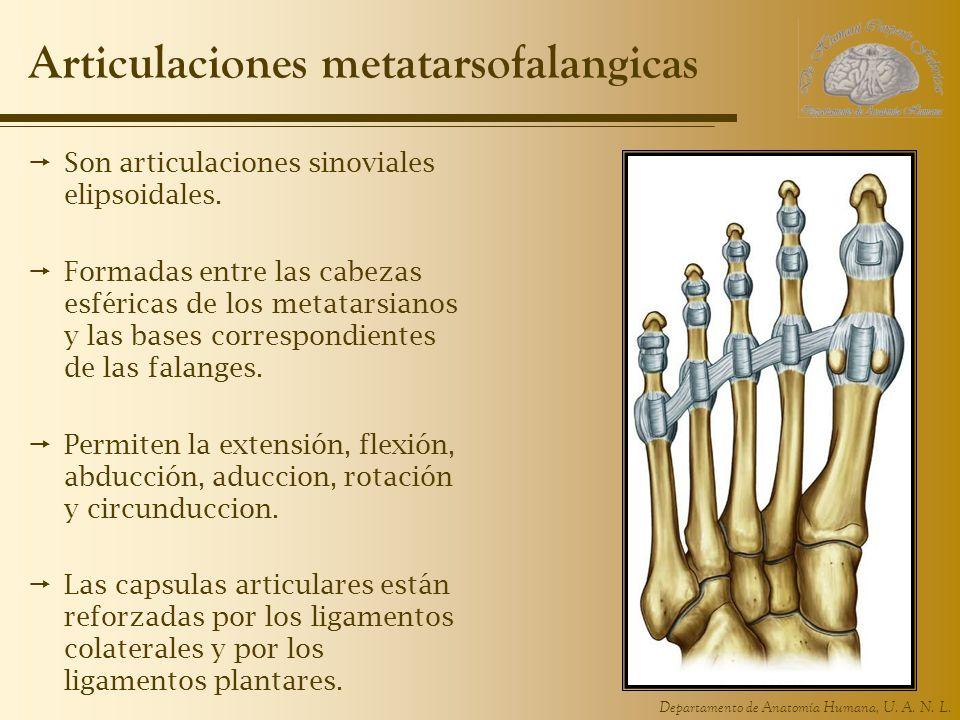 Departamento de Anatomía Humana, U. A. N. L. Articulaciones metatarsofalangicas Son articulaciones sinoviales elipsoidales. Formadas entre las cabezas
