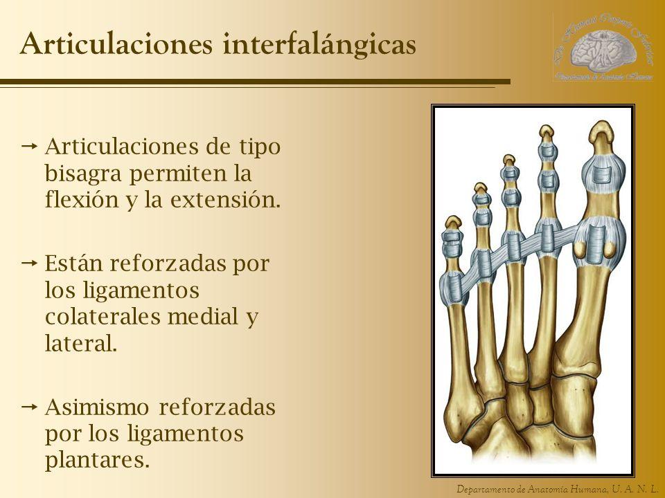 Departamento de Anatomía Humana, U. A. N. L. Articulaciones interfalángicas Articulaciones de tipo bisagra permiten la flexión y la extensión. Están r