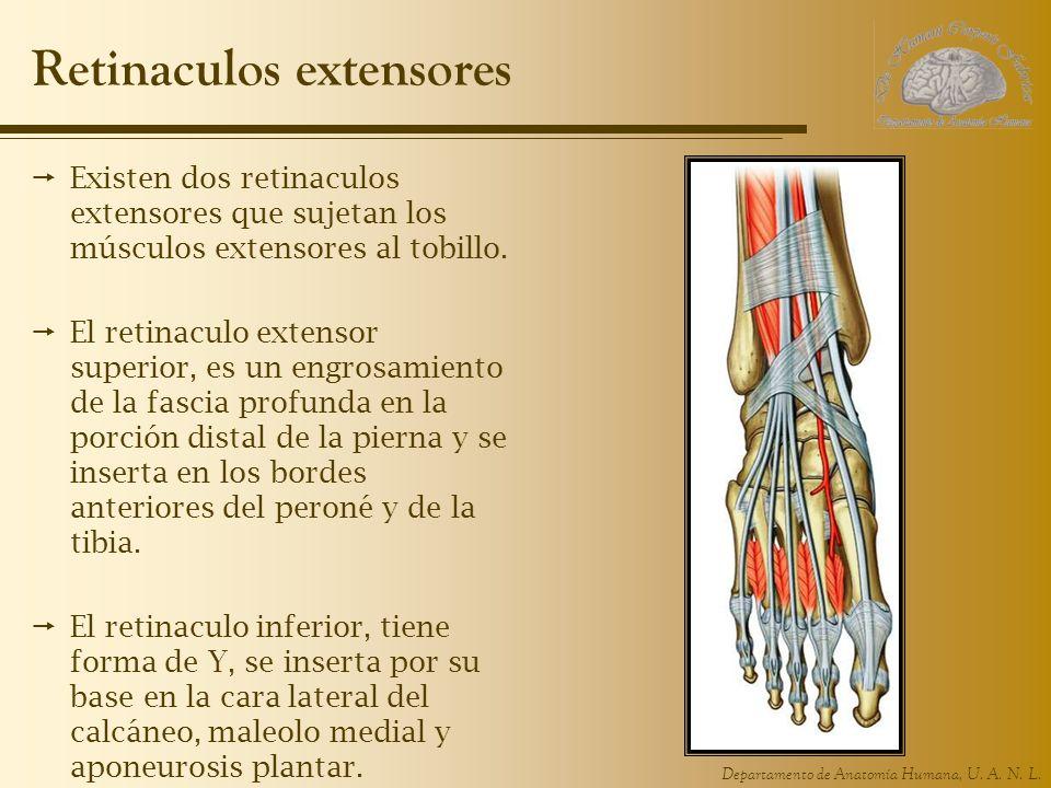 Departamento de Anatomía Humana, U. A. N. L. Retinaculos extensores Existen dos retinaculos extensores que sujetan los músculos extensores al tobillo.