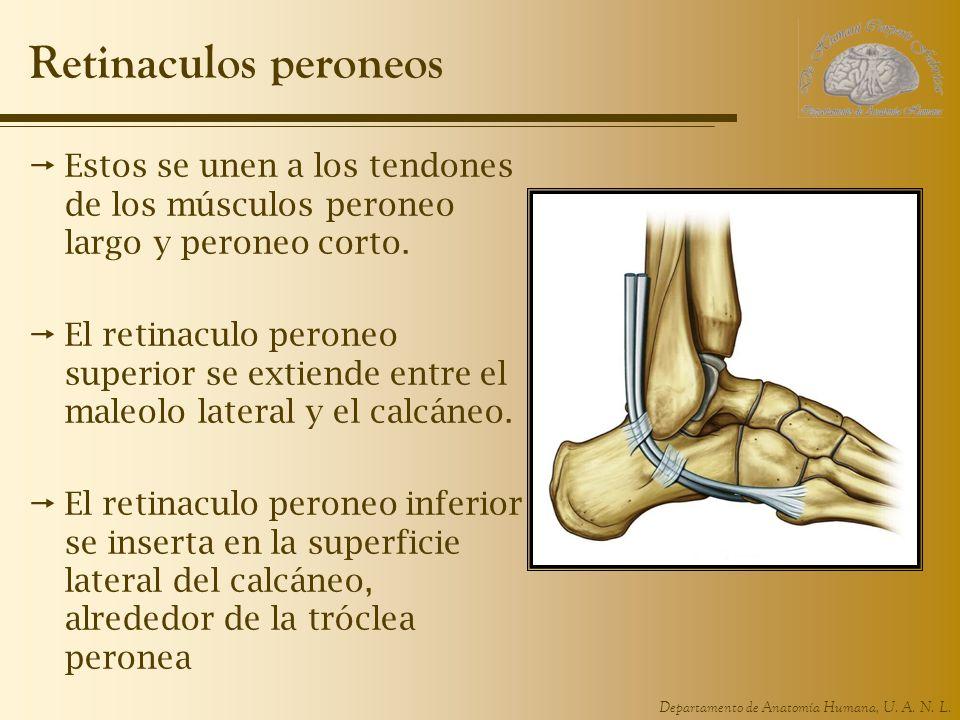 Departamento de Anatomía Humana, U. A. N. L. Retinaculos peroneos Estos se unen a los tendones de los músculos peroneo largo y peroneo corto. El retin