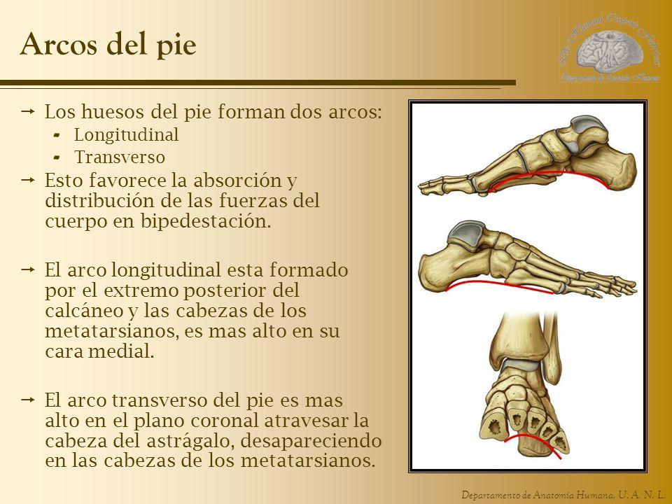 Departamento de Anatomía Humana, U. A. N. L. Arcos del pie Los huesos del pie forman dos arcos: - Longitudinal - Transverso Esto favorece la absorción