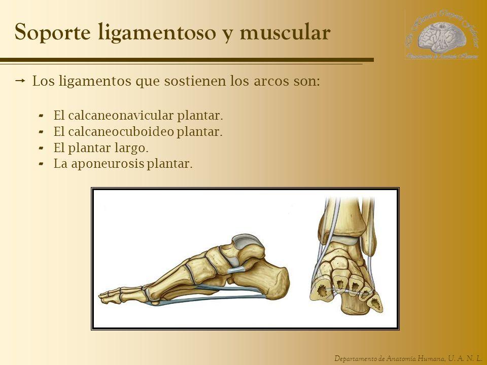 Departamento de Anatomía Humana, U. A. N. L. Soporte ligamentoso y muscular Los ligamentos que sostienen los arcos son: - El calcaneonavicular plantar