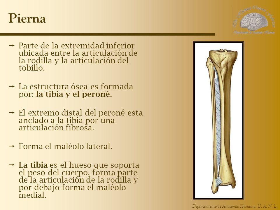 Departamento de Anatomía Humana, U. A. N. L. Pierna Parte de la extremidad inferior ubicada entre la articulación de la rodilla y la articulación del