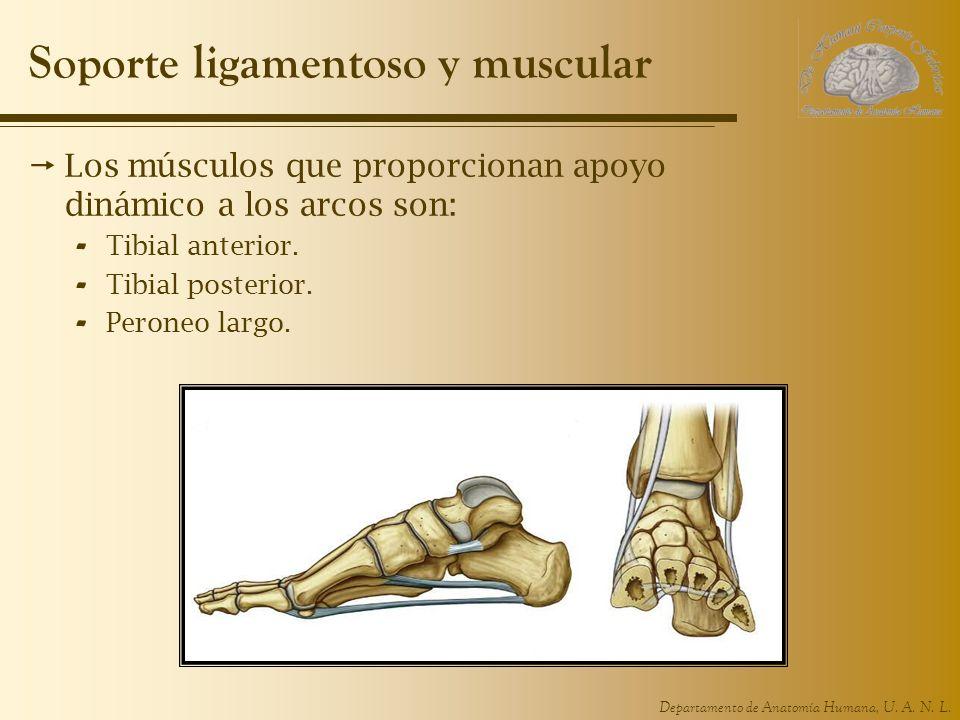 Departamento de Anatomía Humana, U. A. N. L. Soporte ligamentoso y muscular Los músculos que proporcionan apoyo dinámico a los arcos son: - Tibial ant