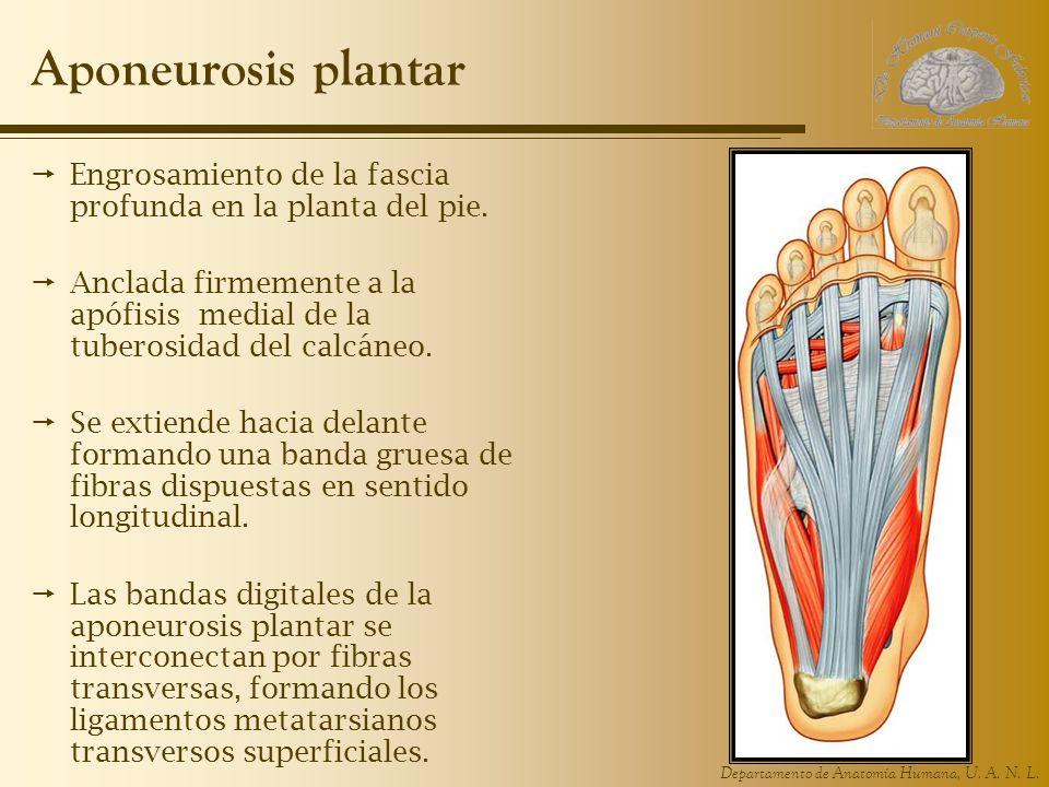 Departamento de Anatomía Humana, U. A. N. L. Aponeurosis plantar Engrosamiento de la fascia profunda en la planta del pie. Anclada firmemente a la apó