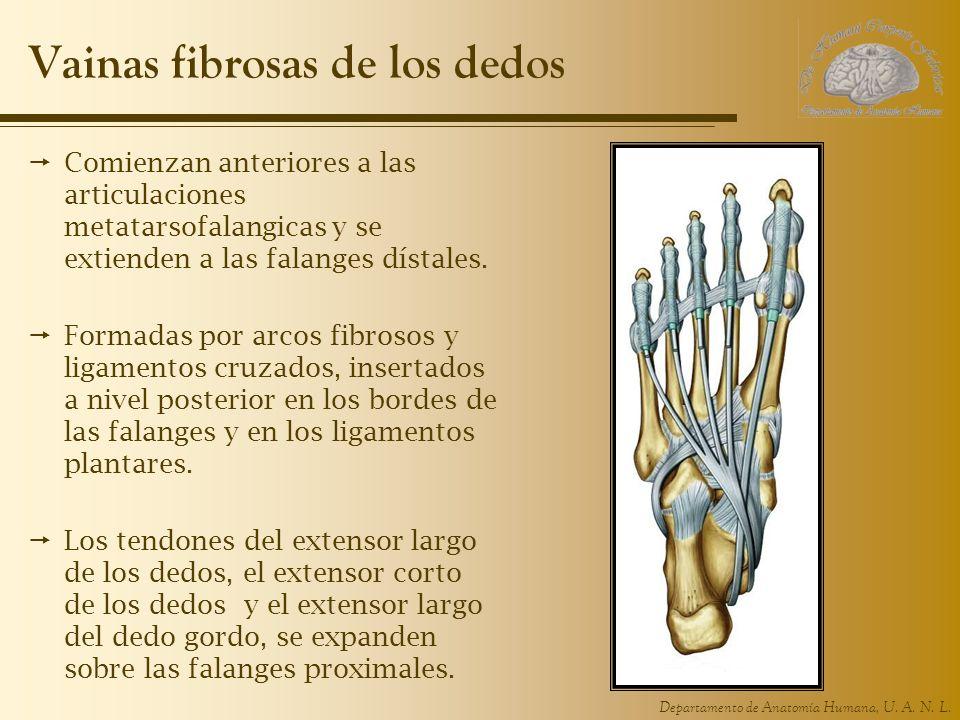 Departamento de Anatomía Humana, U. A. N. L. Vainas fibrosas de los dedos Comienzan anteriores a las articulaciones metatarsofalangicas y se extienden