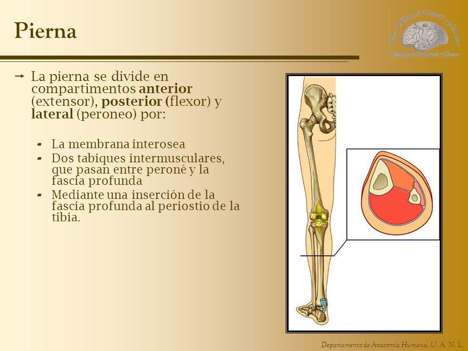 Departamento de Anatomía Humana, U. A. N. L. Pierna La pierna se divide en compartimentos anterior (extensor), posterior (flexor) y lateral (peroneo)
