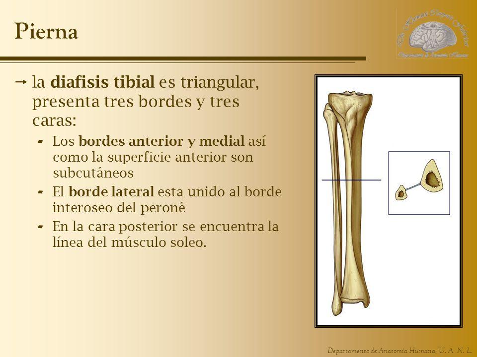 Departamento de Anatomía Humana, U. A. N. L. Pierna la diafisis tibial es triangular, presenta tres bordes y tres caras: - Los bordes anterior y media