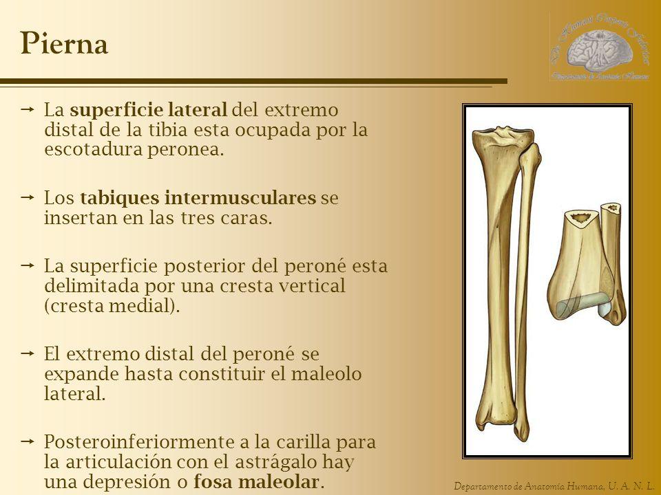 Departamento de Anatomía Humana, U. A. N. L. Pierna La superficie lateral del extremo distal de la tibia esta ocupada por la escotadura peronea. Los t