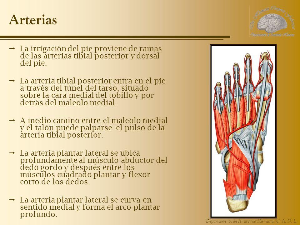 Departamento de Anatomía Humana, U. A. N. L. Arterias La irrigación del pie proviene de ramas de las arterias tibial posterior y dorsal del pie. La ar