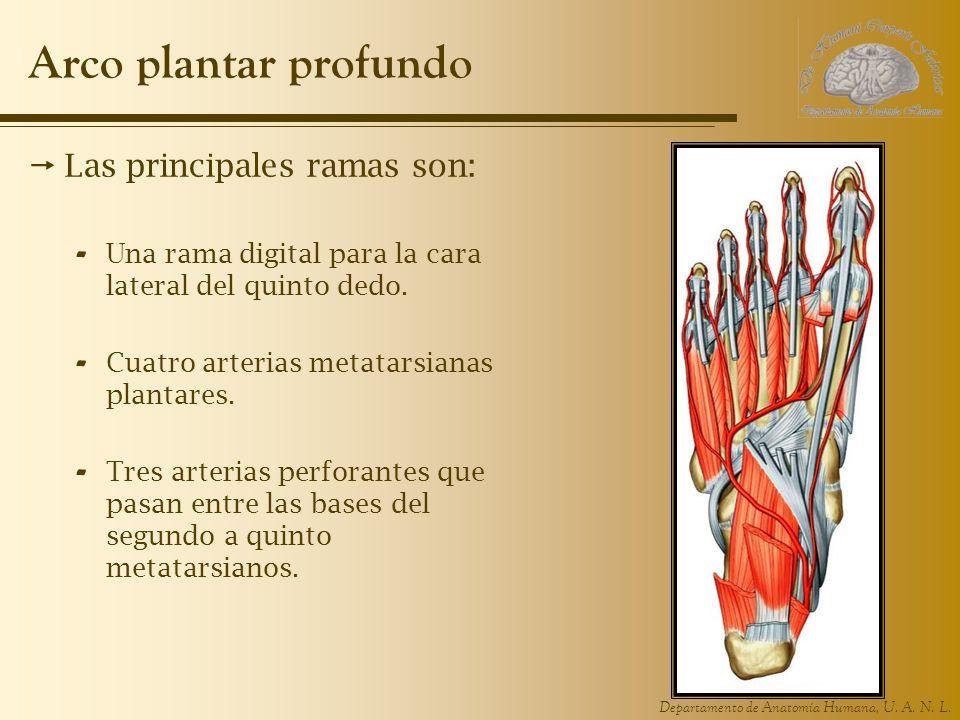 Departamento de Anatomía Humana, U. A. N. L. Arco plantar profundo Las principales ramas son: - Una rama digital para la cara lateral del quinto dedo.