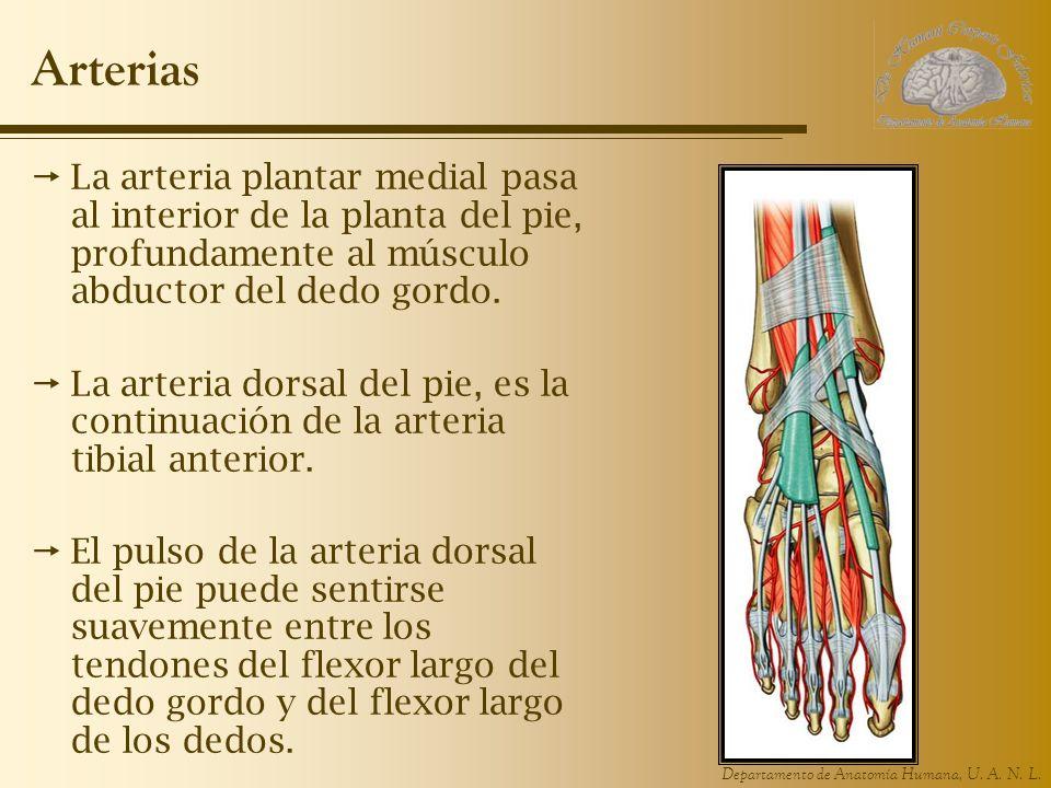 Departamento de Anatomía Humana, U. A. N. L. Arterias La arteria plantar medial pasa al interior de la planta del pie, profundamente al músculo abduct