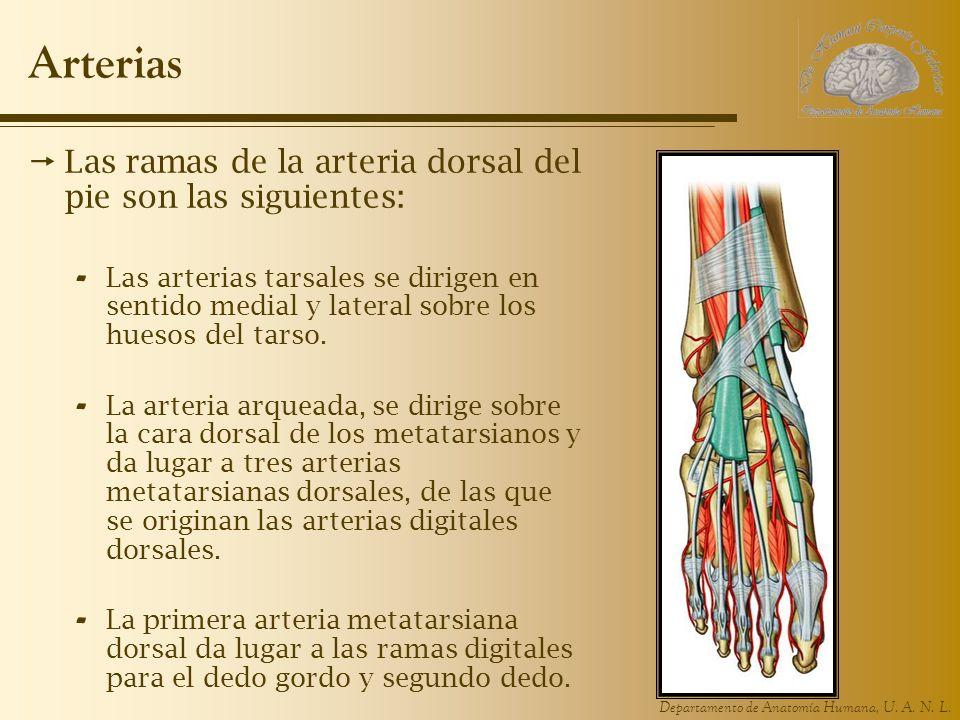 Departamento de Anatomía Humana, U. A. N. L. Arterias Las ramas de la arteria dorsal del pie son las siguientes: - Las arterias tarsales se dirigen en
