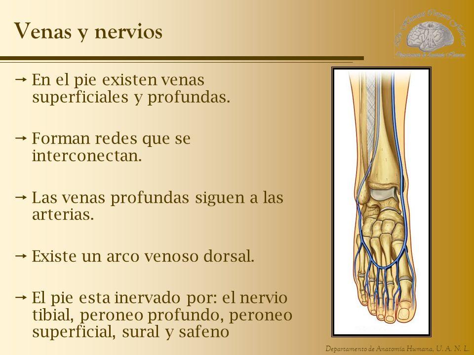 Departamento de Anatomía Humana, U. A. N. L. Venas y nervios En el pie existen venas superficiales y profundas. Forman redes que se interconectan. Las