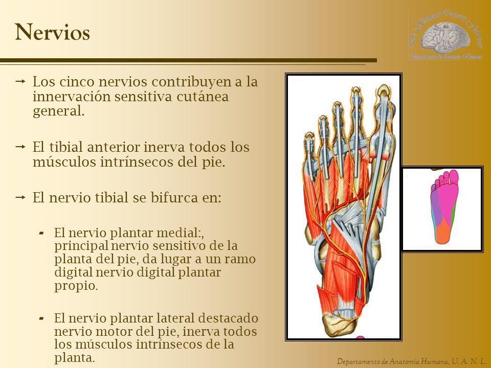 Departamento de Anatomía Humana, U. A. N. L. Nervios Los cinco nervios contribuyen a la innervación sensitiva cutánea general. El tibial anterior iner