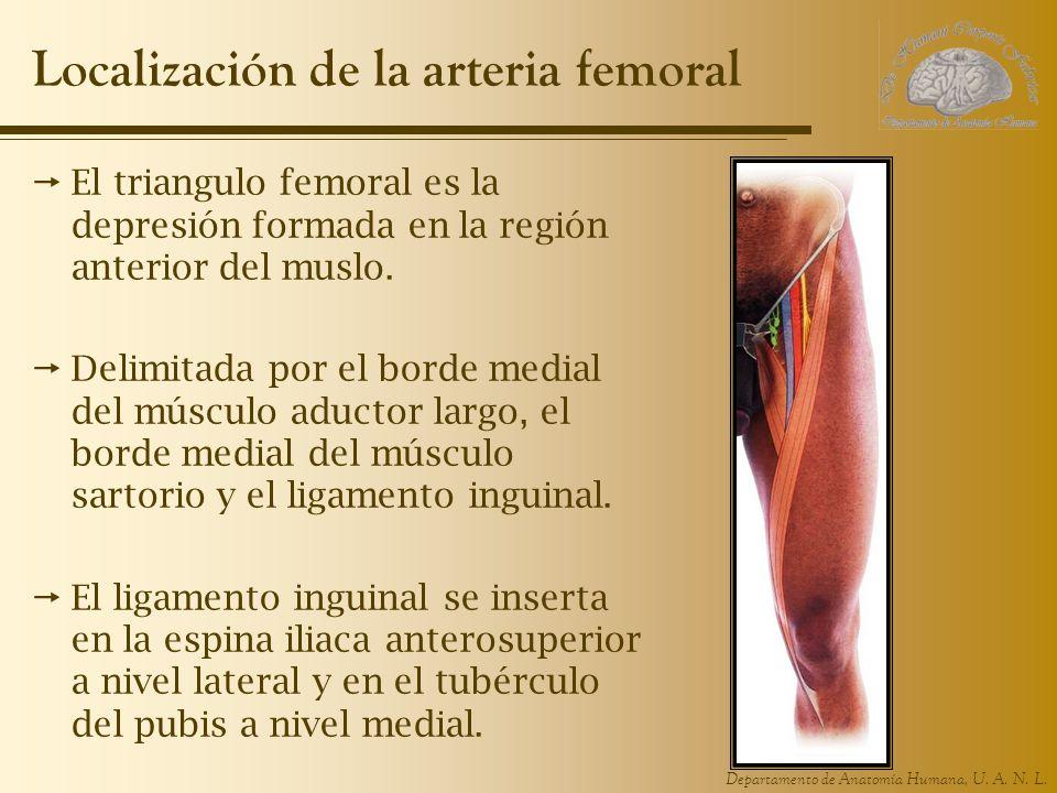 Departamento de Anatomía Humana, U. A. N. L. Localización de la arteria femoral El triangulo femoral es la depresión formada en la región anterior del