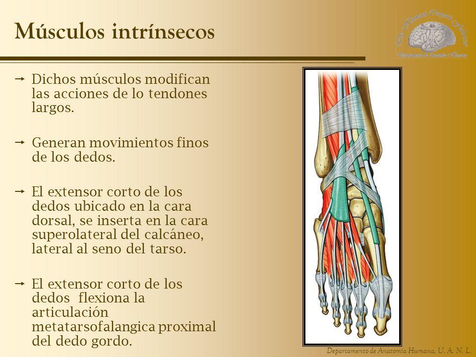 Departamento de Anatomía Humana, U. A. N. L. Músculos intrínsecos Dichos músculos modifican las acciones de lo tendones largos. Generan movimientos fi