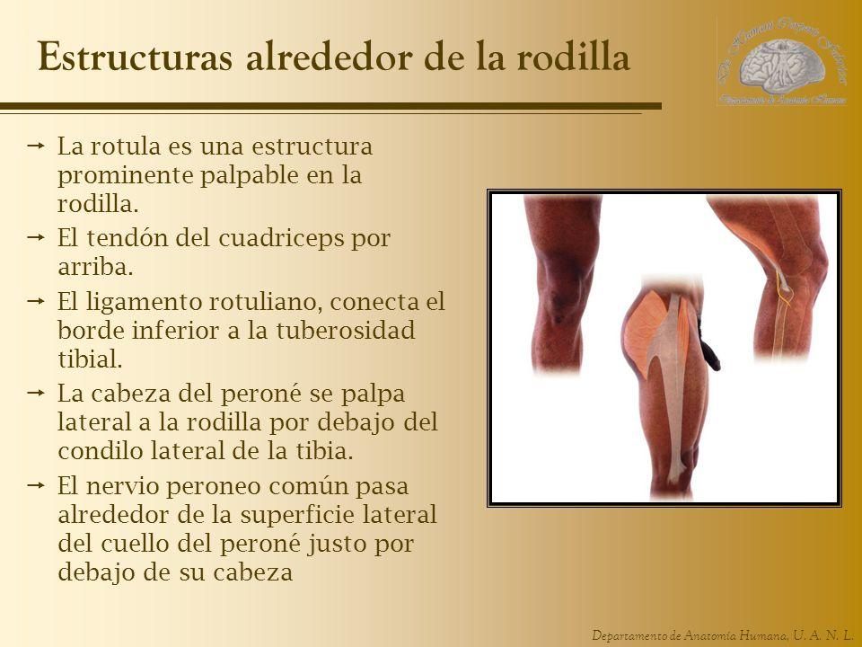 Departamento de Anatomía Humana, U. A. N. L. Estructuras alrededor de la rodilla La rotula es una estructura prominente palpable en la rodilla. El ten