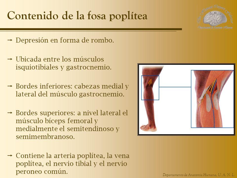 Departamento de Anatomía Humana, U. A. N. L. Contenido de la fosa poplítea Depresión en forma de rombo. Ubicada entre los músculos isquiotibiales y ga