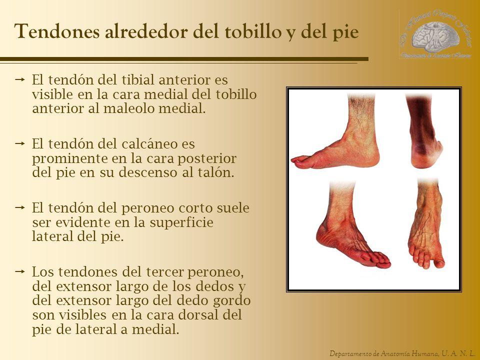 Departamento de Anatomía Humana, U. A. N. L. Tendones alrededor del tobillo y del pie El tendón del tibial anterior es visible en la cara medial del t