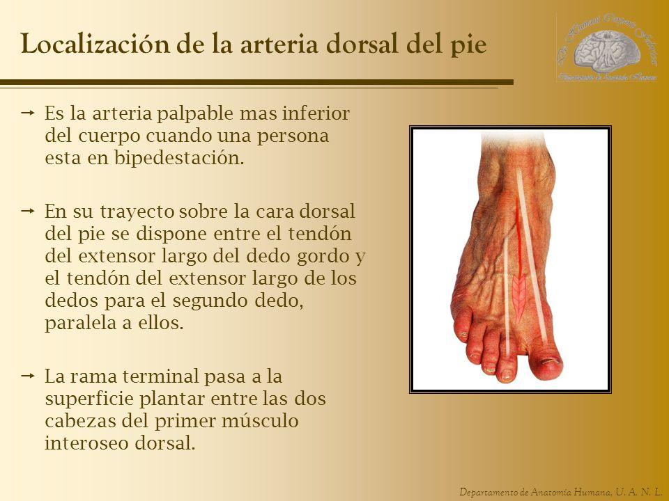 Departamento de Anatomía Humana, U. A. N. L. Localización de la arteria dorsal del pie Es la arteria palpable mas inferior del cuerpo cuando una perso