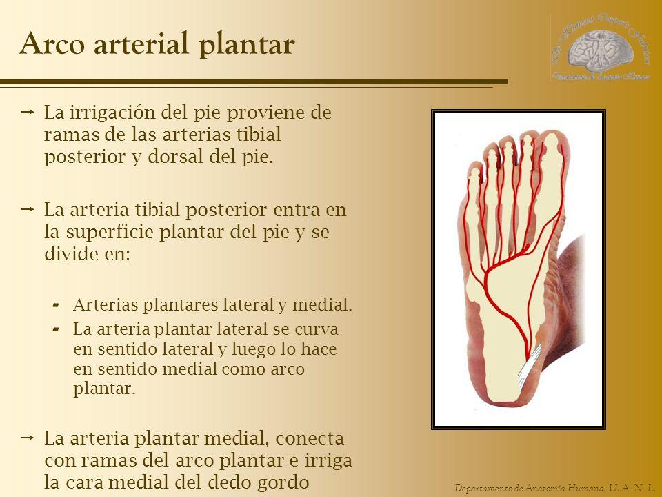 Departamento de Anatomía Humana, U. A. N. L. Arco arterial plantar La irrigación del pie proviene de ramas de las arterias tibial posterior y dorsal d