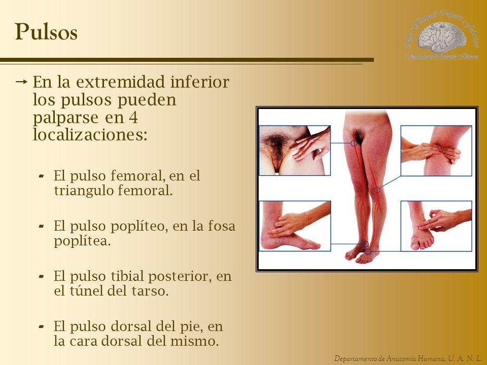 Departamento de Anatomía Humana, U. A. N. L. Pulsos En la extremidad inferior los pulsos pueden palparse en 4 localizaciones: - El pulso femoral, en e