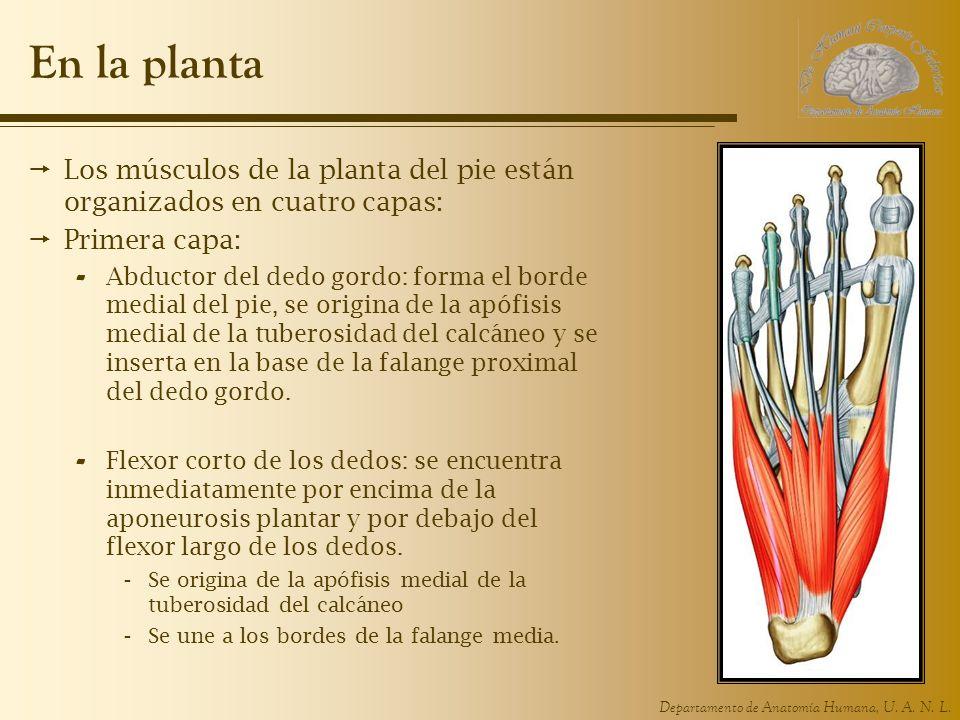 Departamento de Anatomía Humana, U. A. N. L. En la planta Los músculos de la planta del pie están organizados en cuatro capas: Primera capa: - Abducto
