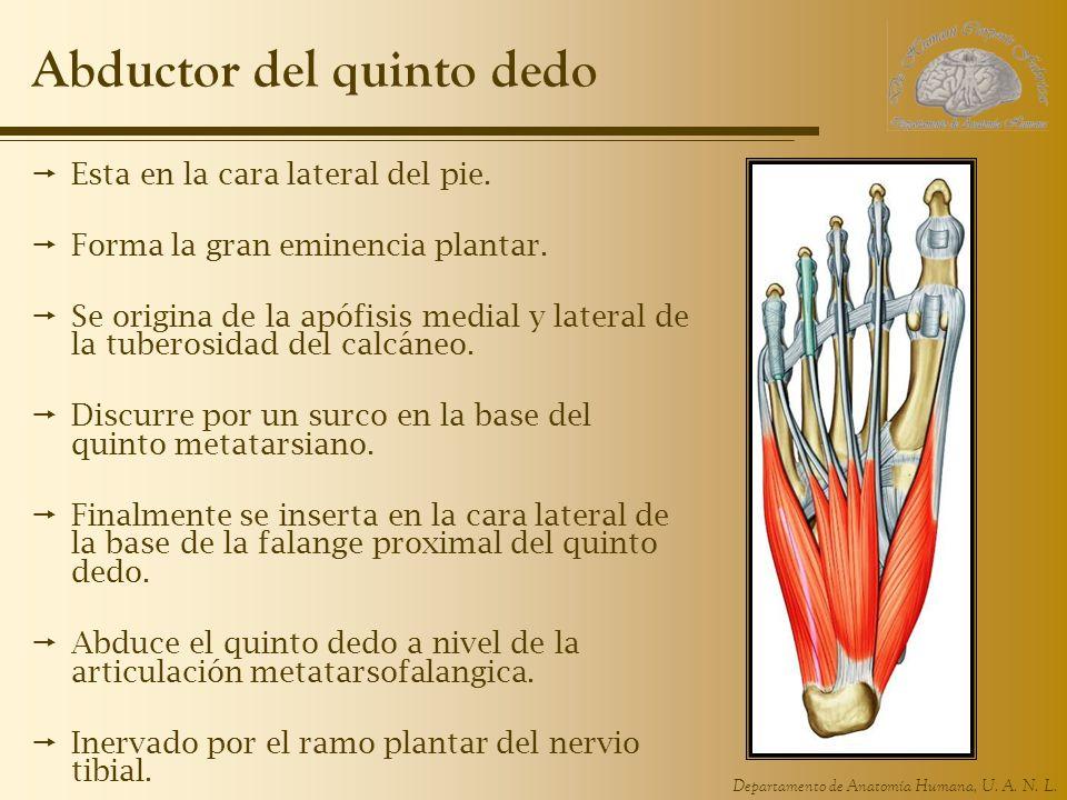Departamento de Anatomía Humana, U. A. N. L. Abductor del quinto dedo Esta en la cara lateral del pie. Forma la gran eminencia plantar. Se origina de